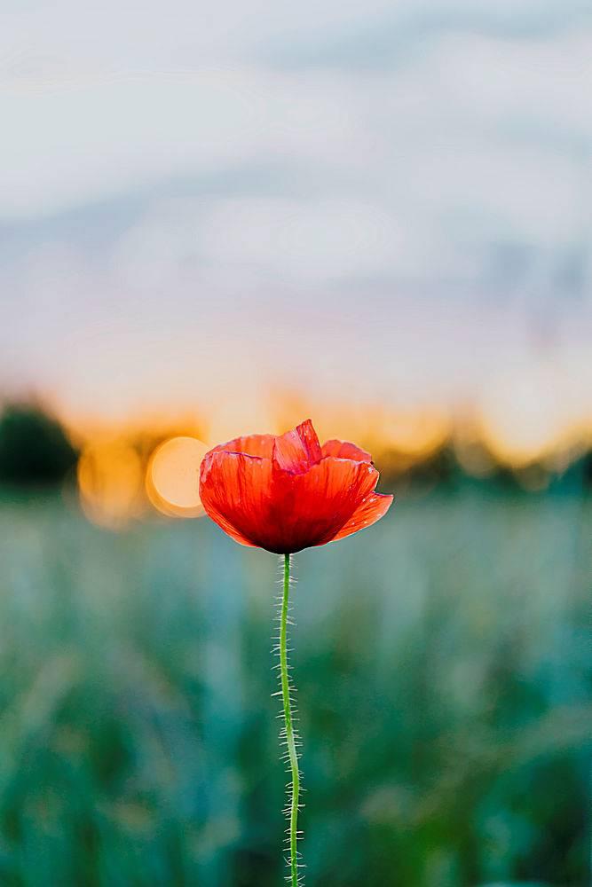 夏日田野里夕阳下的红色罂粟花_1130961201