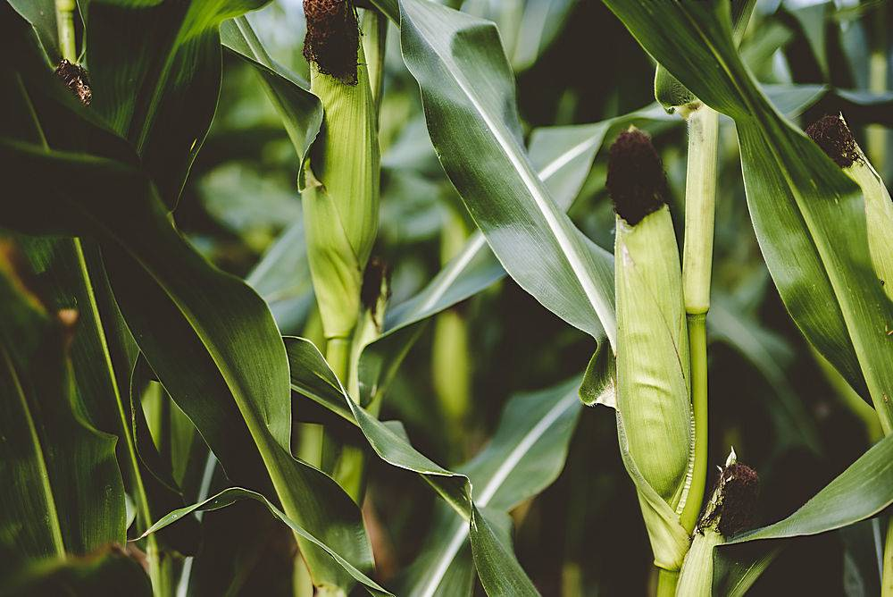 玉米被绿叶包围的特写镜头_1118313801