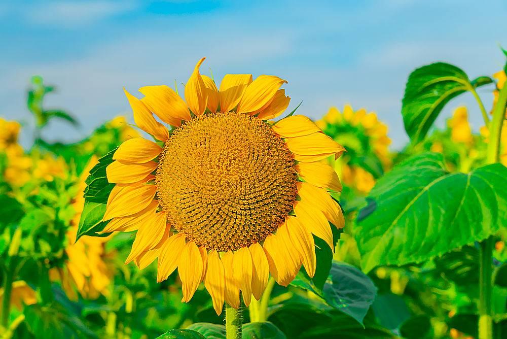 天空明亮的田野上向日葵的特写_966286001