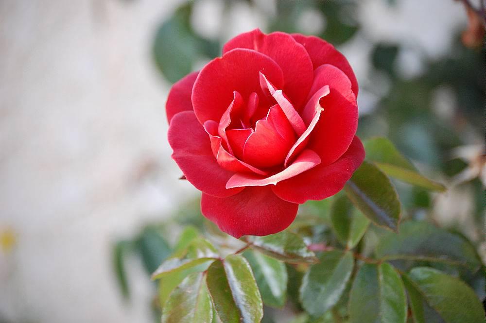 一朵美丽的盛开的红色花园玫瑰的特写镜头_1194205601
