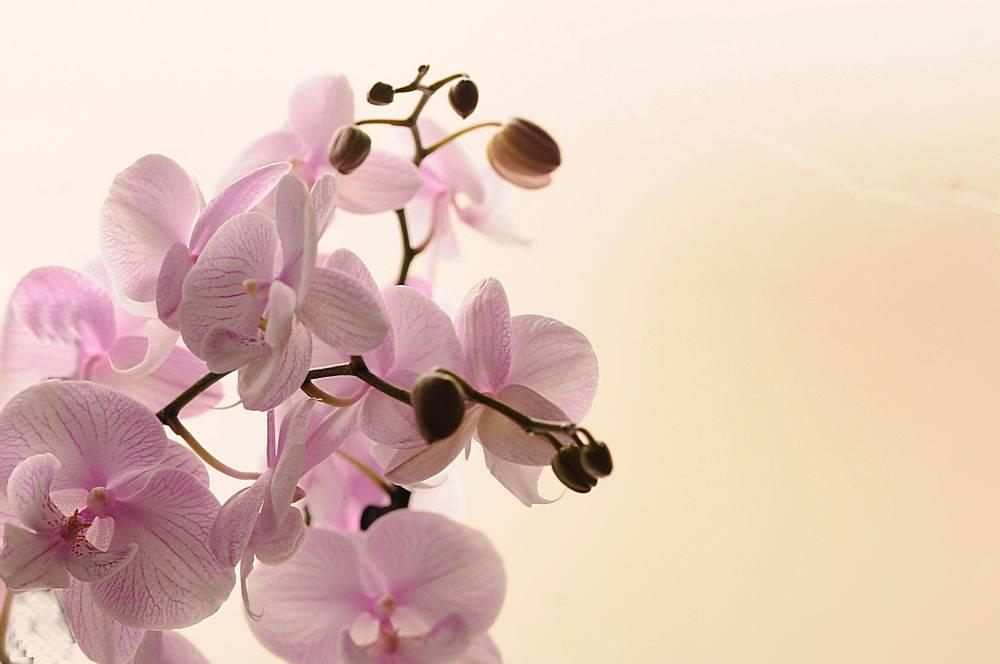 白色兰花在浅色背景上的特写蝴蝶兰条纹孤_119032601