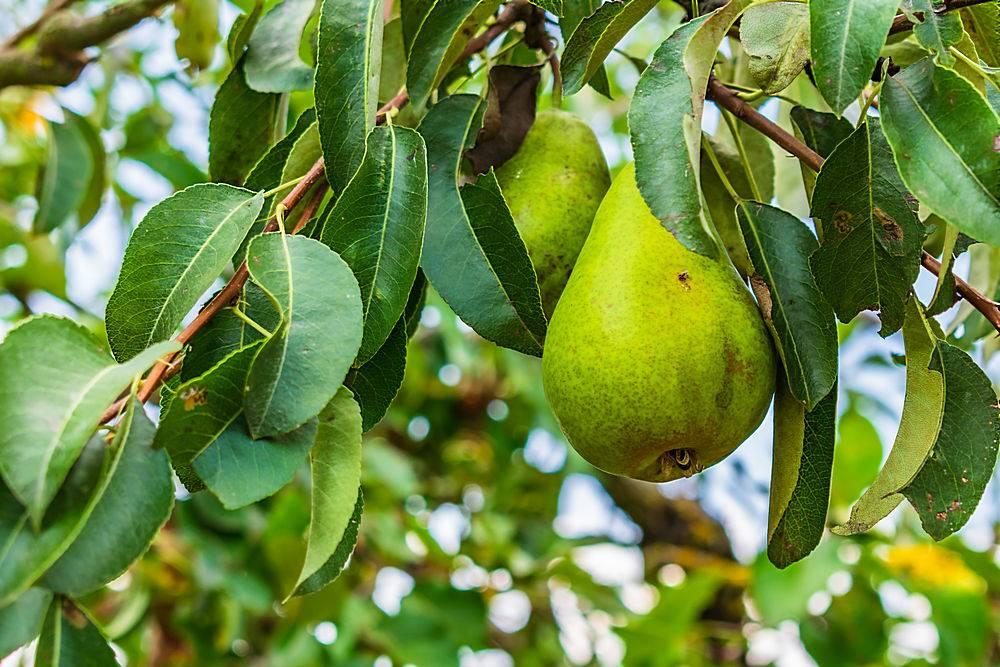 被绿树成荫包围的树枝上梨子的特写_875334501