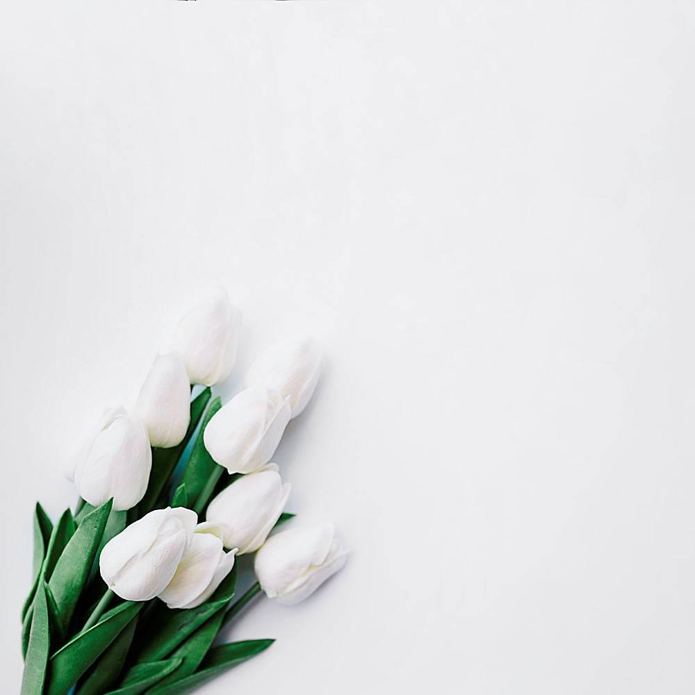 白色背景上的白色郁金香花束_251885301