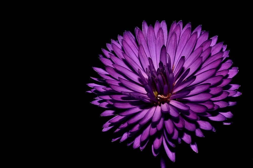 隔绝在黑暗中的一朵紫色菊花的特写_1120658101