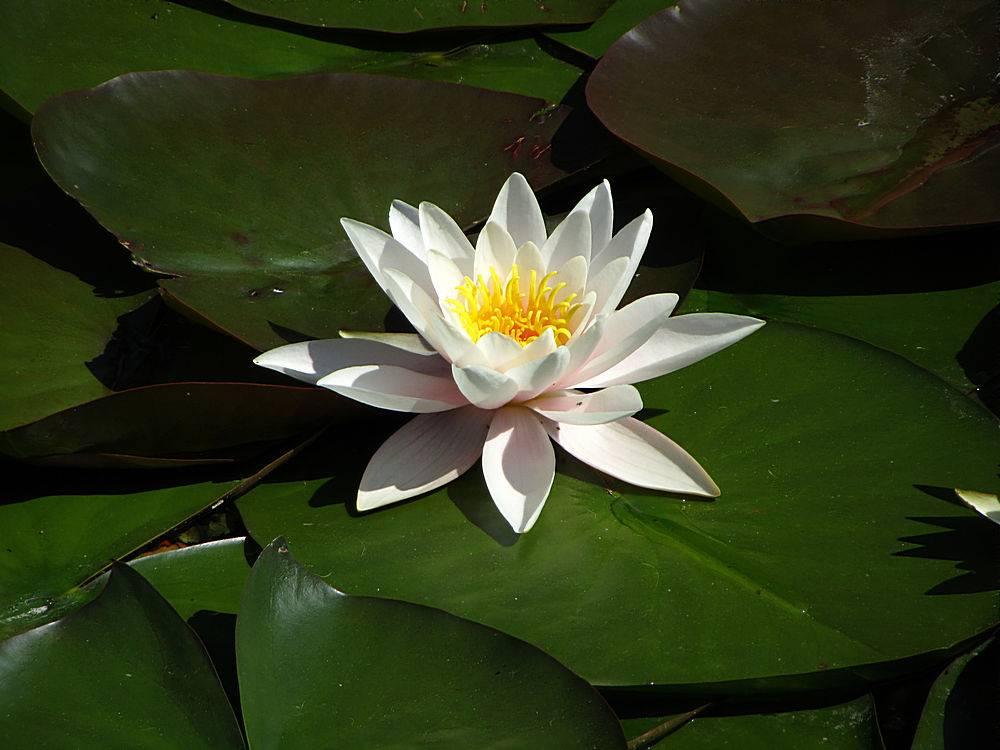 漂浮在水面上的睡莲植物和花卉_1232816901