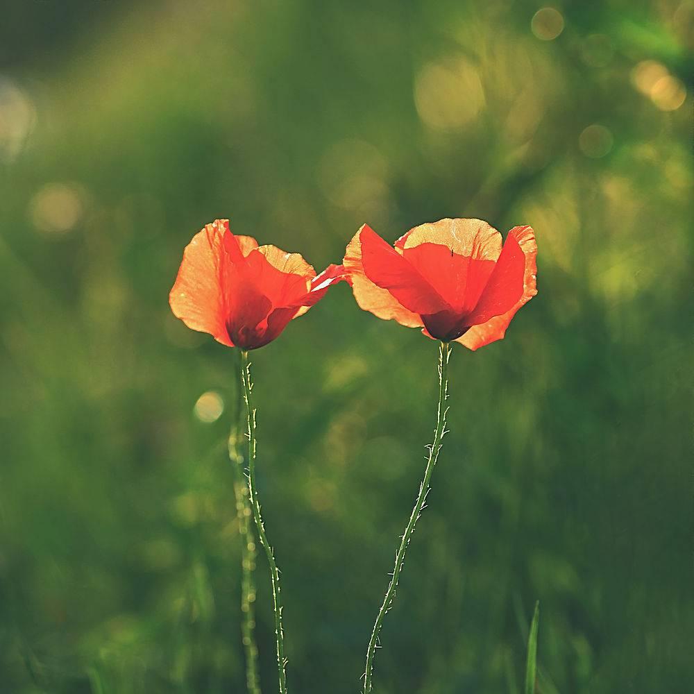 美丽的罂粟花开在绿草如茵的田野里罂粟_124306001