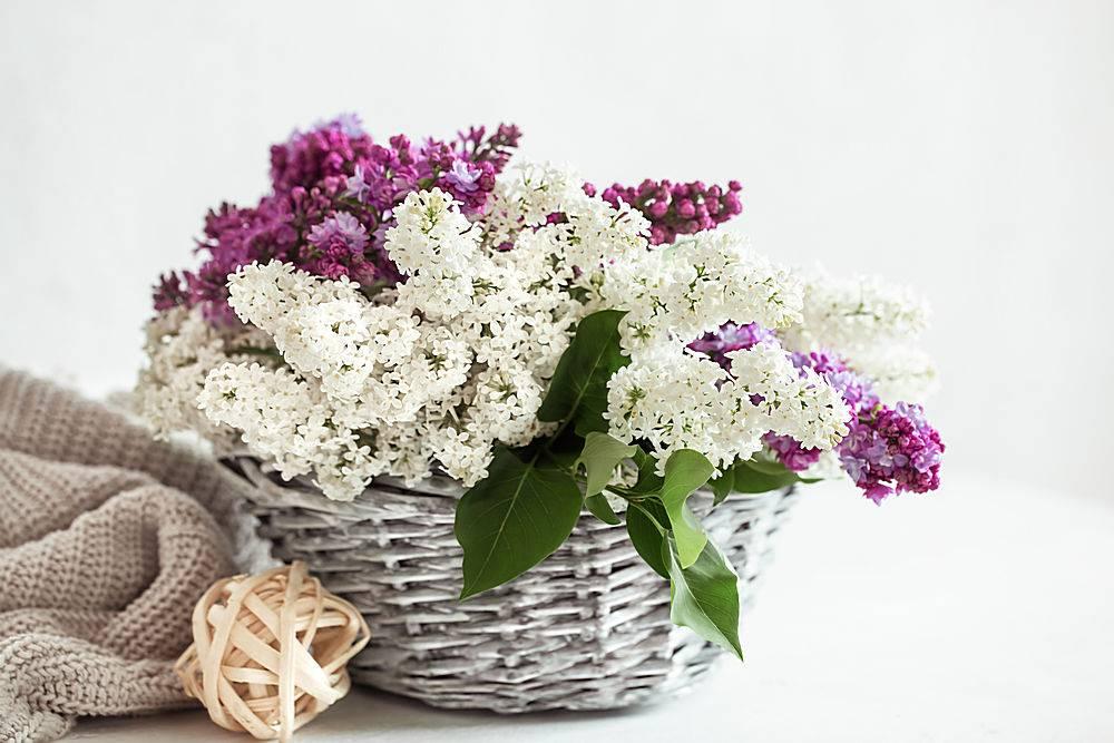 春天的构图柳条篮子里有彩色的丁香花_1156715901