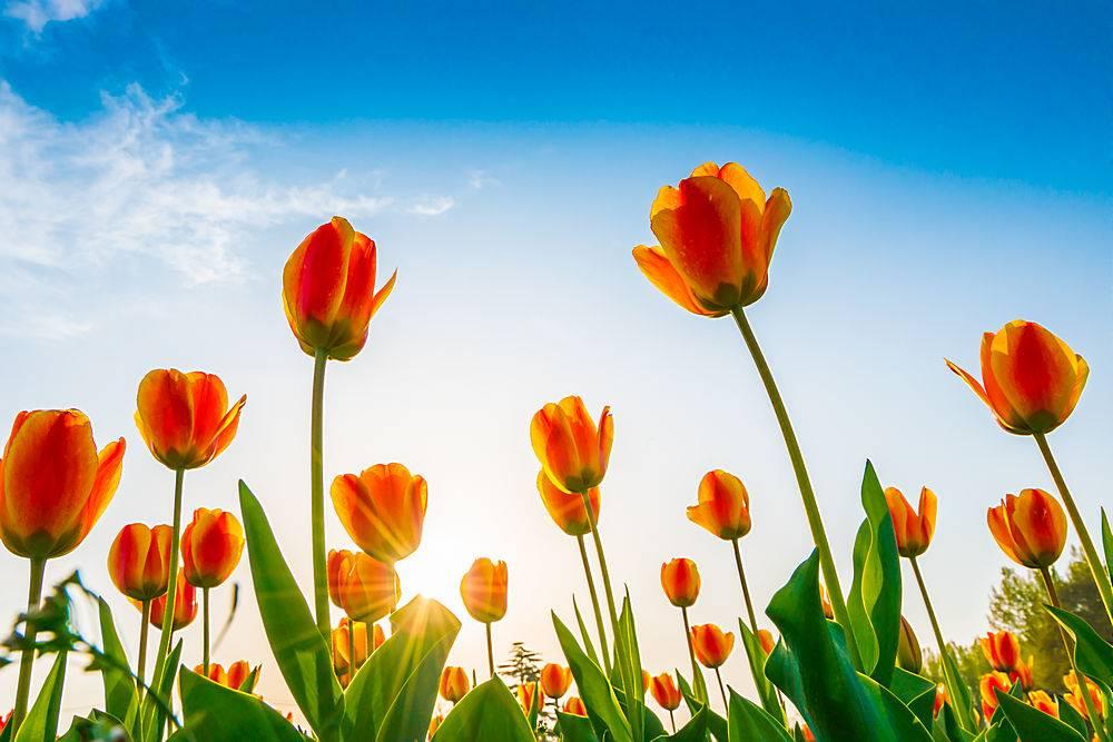 春天里美丽的郁金香花束_125452201