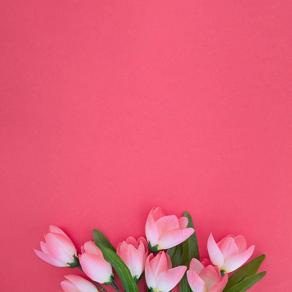粉色背景上美丽的郁金香_850620901