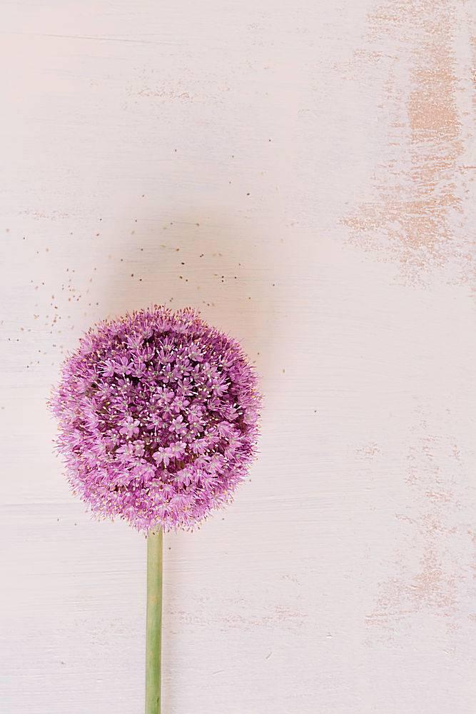 大洋葱大葱在肮脏的背景下盛开的鲜花_317071001