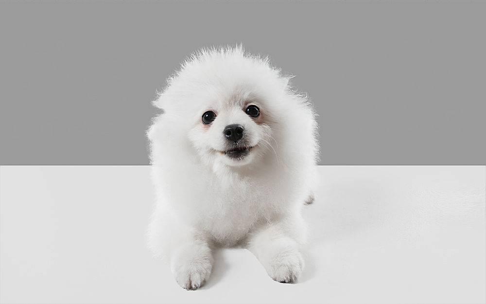 可爱顽皮的白色小狗或宠物在灰色工作室里_1058428701