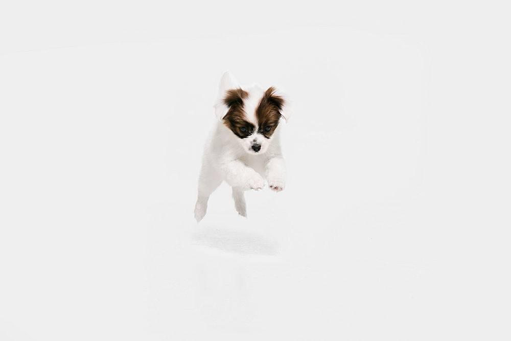 在奔跑乳头掉下来的小狗正在摆姿势可爱_1226557801