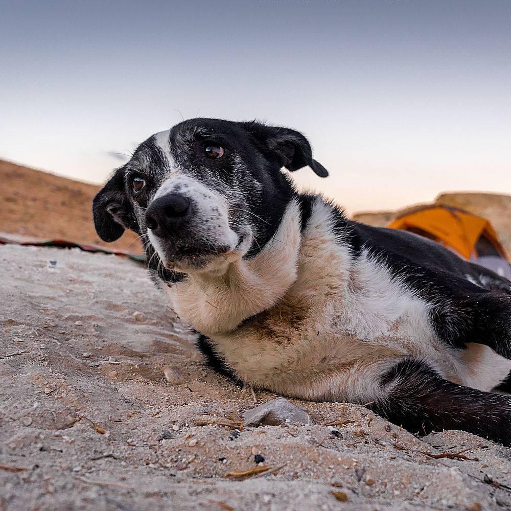 选择性对焦拍摄了一只躺在沙子上的悲伤的狗_1154256101