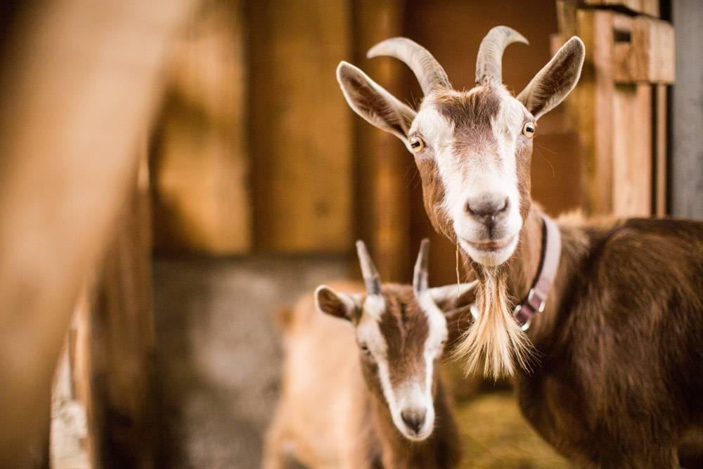 谷仓里的棕色和白色母羊和小山羊_12045833
