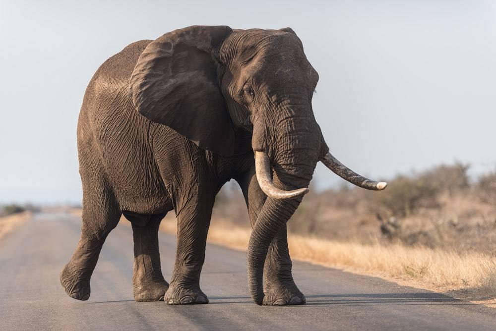 走在路上的大象_11343081
