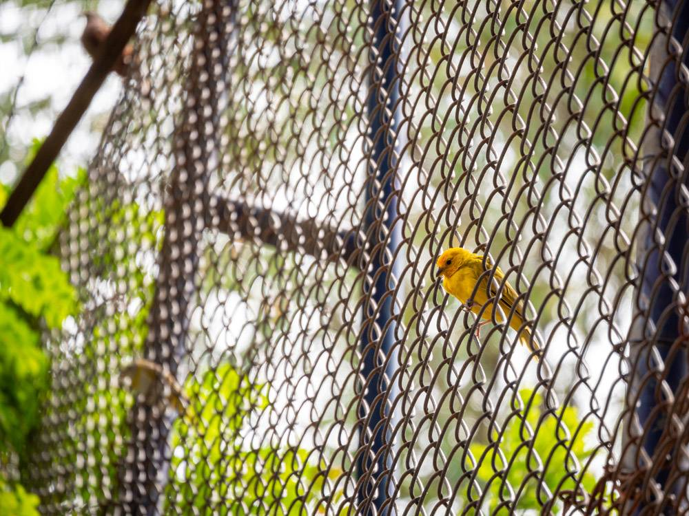 黄色的鸟在金属栅栏上_15914942