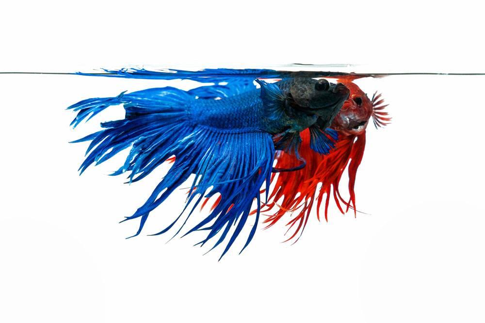 蓝色和红色betta鱼在白色背景隔绝的战斗_13249922